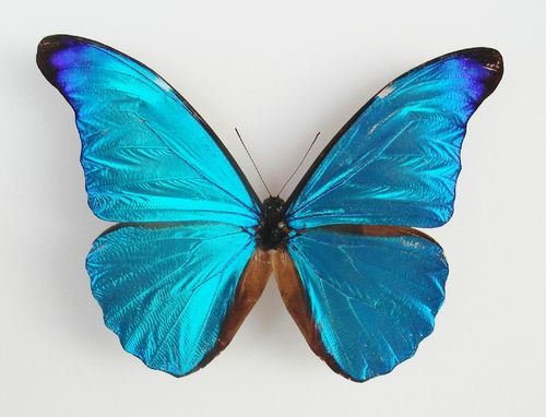 Morpho rhetenor ssp. rhetenor male