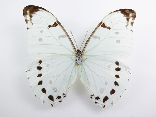 Morpho luna male