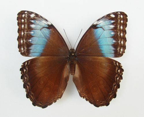 Morpho marinita female