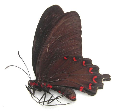 Parides montezuma Männchen UP