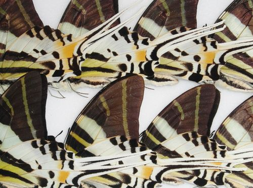 Graphium androcles 5 x UP