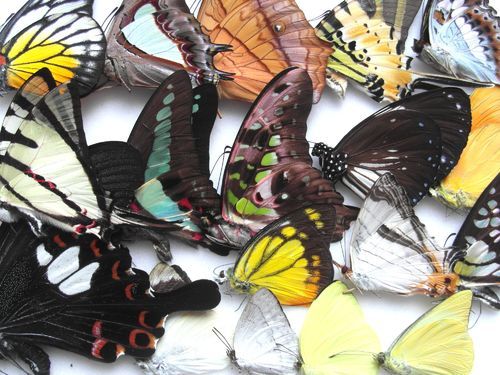Mixed daybutterflies Malaysia, 25 pieces UP