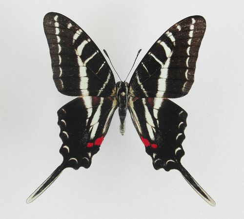 Graphium philolaus male