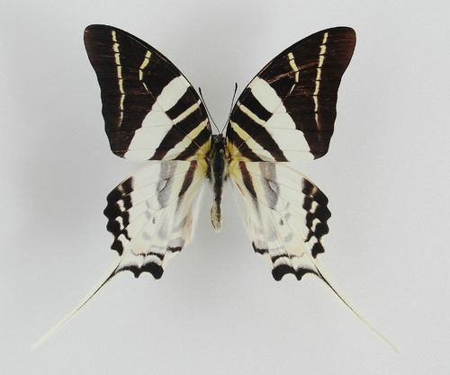 Graphium androcles male