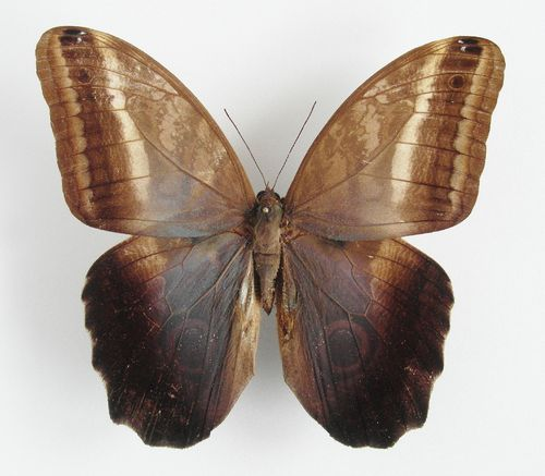 Caligo oedipus male