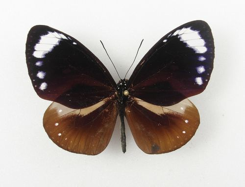 Euploea swinsoni male