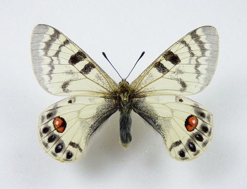 Parnassius charltonius ssp. eugenia male