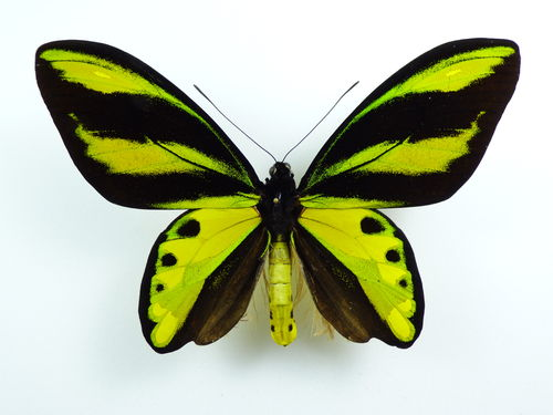 Ornithoptera tithonus misresiana male