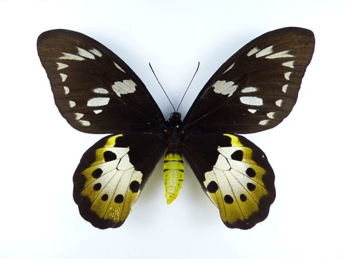 Ornithoptera tithonus misresiana female