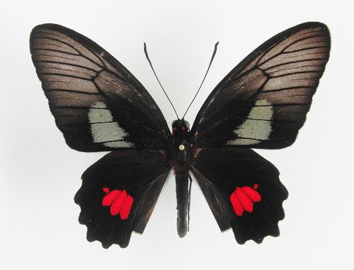 Parides anchises nielseni male