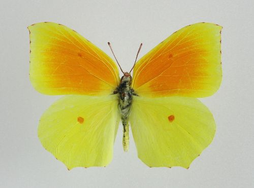 Gonepterix cleopatra male