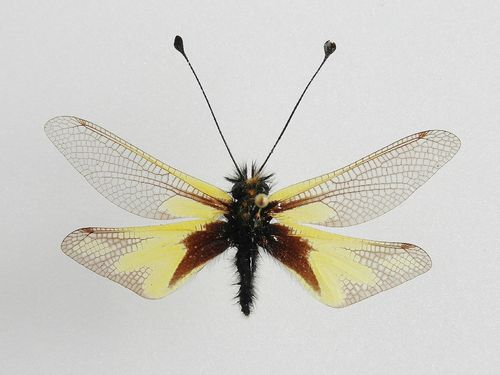 Libelloides sp. / Ascalaphidae