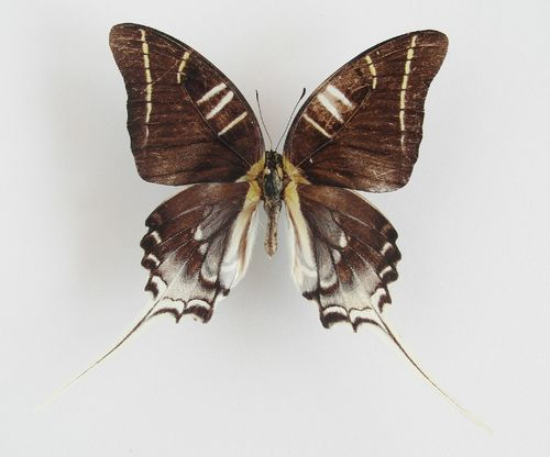 Graphium androcles aberration male