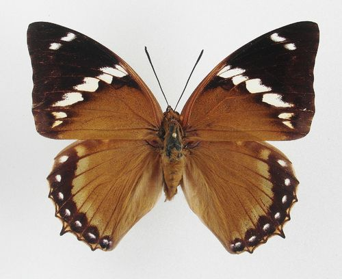 Charaxes numenes ssp.aequatorialis Weibchen