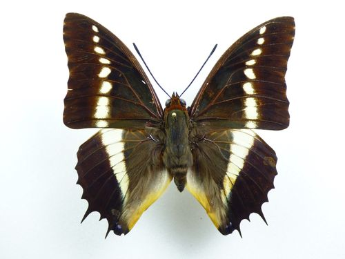 Charaxes brutus ssp. alcyone male