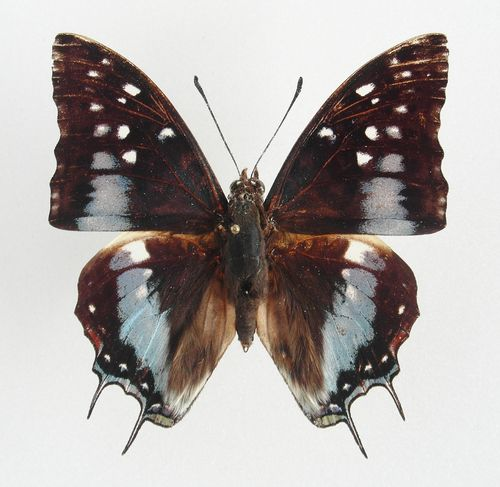 Charaxes cacuthis male