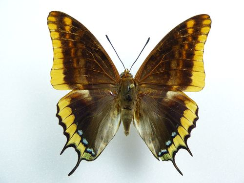 Charaxes jasius male