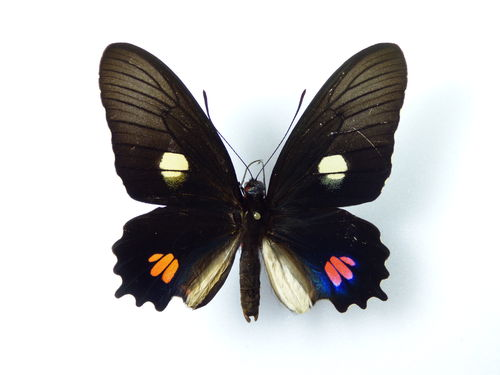 Parides anchises ssp. stilbon male