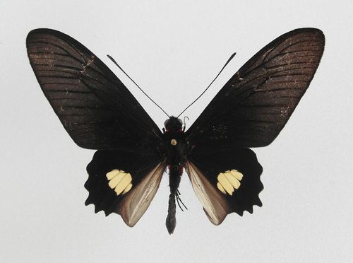 Parides pizzaro ssp. pizzaro male