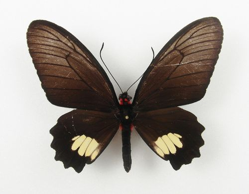 Parides pizzaro ssp. pizzaro female