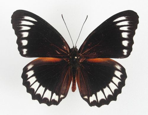 Cethosia obscura ssp. antippe male