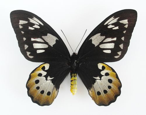 Ornithoptera tithonus X Ornithoptera goliath female