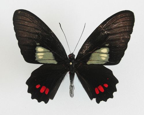 Parides phosphorus ssp. vavi male