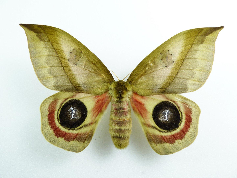 Automeris metzli female - AUREUS butterflies & insects