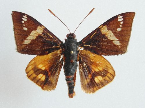 Castnia phyrropygoides male