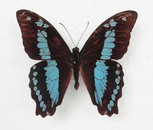 Papilio aristophontes male