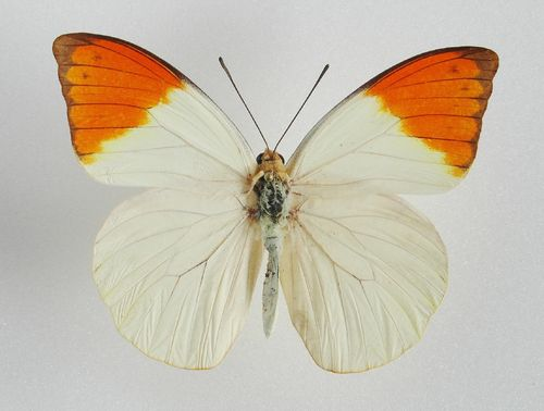 Hebomoia glaucippe ssp. palawanensis male