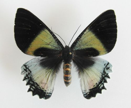 Alcides aurora female