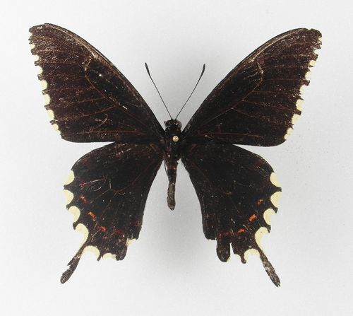 Papilio oxynius male