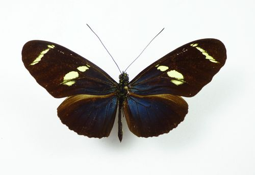Heliconius wallacei ssp. wallacei Männchen