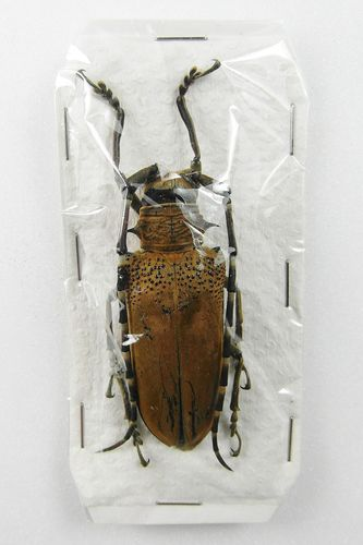 Batocera sp. ? UP #1 female