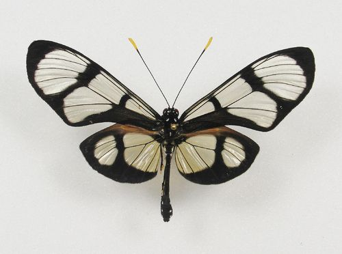 Thyridia psidii male