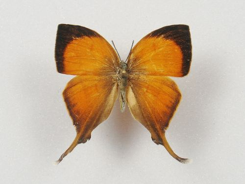 Yasoda pita male