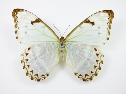 Morpho catenarius female
