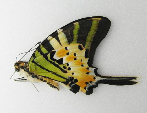 Graphium antiphates UP