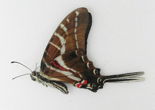 Graphium philolaus UP