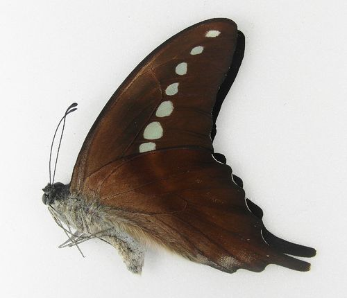 Graphium codrus ssp. codrus male UP