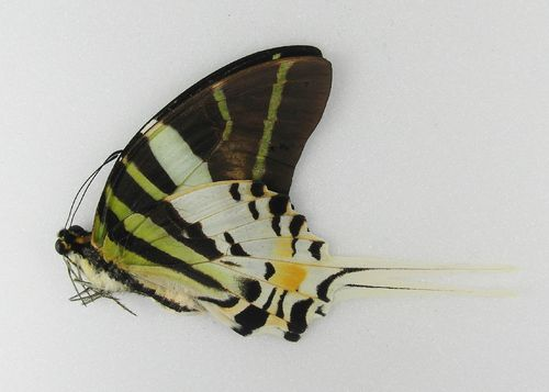 Graphium androcles UP