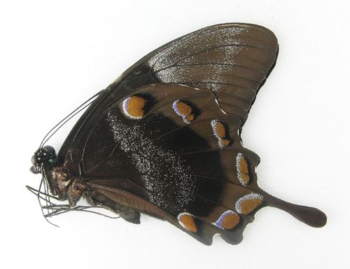 Papilio ulysses ssp. ulysses male UP