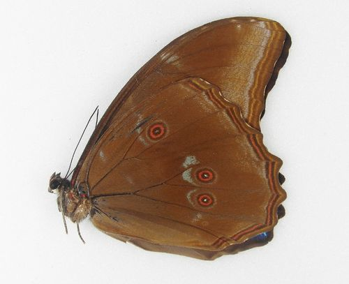 Morpho menelaus male UP