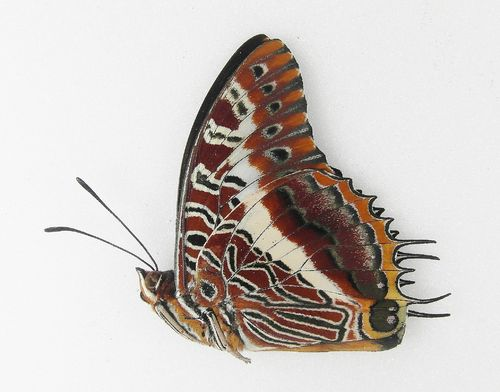 Charaxes brutus ssp. angustus male UP