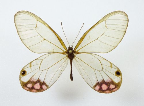 Citheria pyropina male