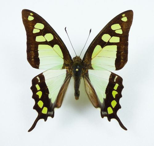 Graphium cloanthus ssp. cloanthus male