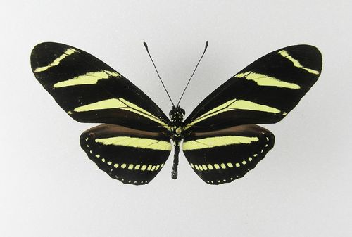 Heliconius charitonia ssp. tuckerorum male