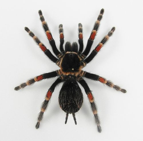 Brachypelma auratobohemei female