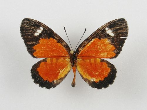 Telipna sp. ? male